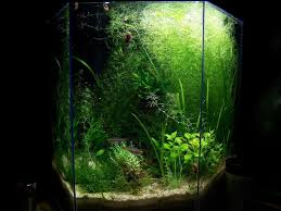 native aquarium plants introduction keeping and care of freshwater clams in aquariums