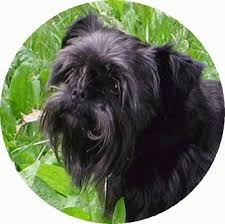 affenpinscher long hair affenpinscher dog breed information and pictures