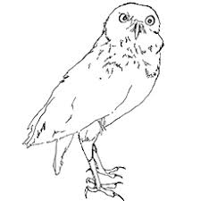 prairie dog coloring page top 25 free printable owl coloring pages online