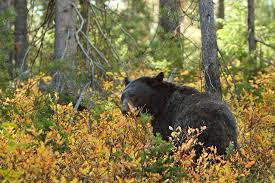 black bears lessons tes teach