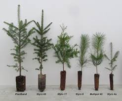 Planting Christmas Tree Seedlings Tree Seedlings Availability Conifers Exotic Conifers Conifer Plant
