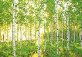 komar national geographic sunday spring birch tree forest 4m x default name