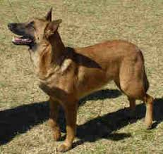 belgian sheepdog brown malinois belgian shepherds in south africa