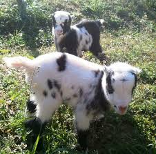 australian shepherd cost how much does a goat cost drinkatcalsbar com