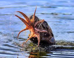 imagenes sorprendentes de lobos imágenes sorprendentes de la lucha entre un lobo marino y un pulpo