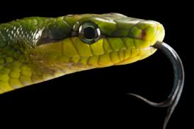 a green snake wallpapers red tailed green rat snake images joel sartore