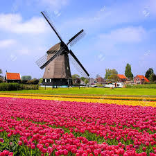 Netherlands Tulip Fields Fields Of Colorful Pink And Yellow Spring Tulips With Dutch