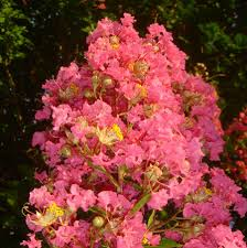 tuscarora crape myrtle trees for sale fast growing trees