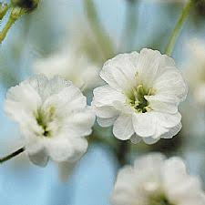 baby s breath flowers baby s breath this beauty is called party time baby s