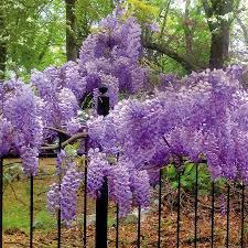blue moon wisteria for sale at wayside gardens