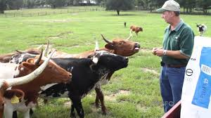 Backyard Dairy Cow 5 Reasons U0027miniature Cows U0027 Are A Better Option Than Standard Ones