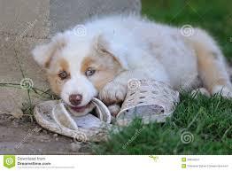 australian shepherd queensland dog red australian shepherd breed stock photos images u0026 pictures