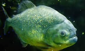 piranha fish facts diet u0026 habitat information