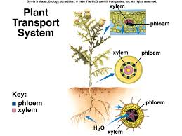 investigating plant transport lessons tes teach