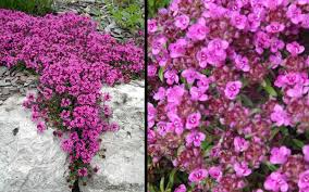 buy creeping thyme for sale from wilson bros gardens