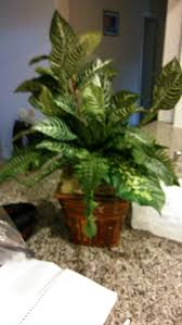 floor plant kingwood dark green leafy floor plant in wicker container 25 00