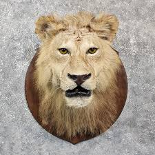 lion heads for sale lion shoulder mount 11608 the taxidermy store