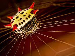 Male Spider Anatomy Spiny Orb Weaver Ezgro Garden