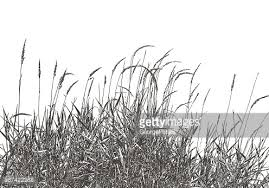 wetlands dried ornamental grass vector getty images