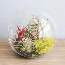 large hand blown glass terrarium with 3 ionantha air plants