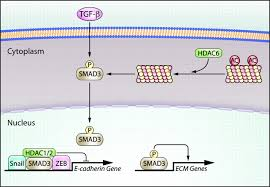protein acetylation in the cardiorenal axis circulation research
