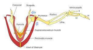 diagram chicken wing diagram