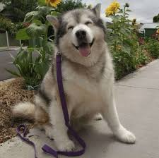 Dog Smiling Meme - 11 smiling dogs that will melt your worries away i can has