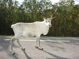 white reindeer at e94 alta hammerfest deer animals