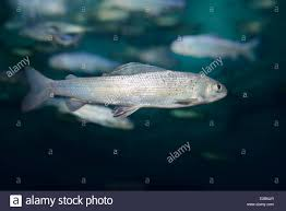 arctic grayling cold freshwater fish swimming underwater in