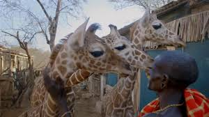 San Diego Zoo Safari Park Map by Save Giraffes Join The San Diego Zoo Global Wildlife Conservancy