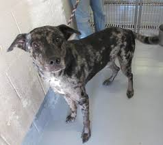 australian shepherd catahoula mix 53 best catahoula leopard dogs for adoption images on pinterest
