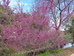 redbud native plant nursery they u0027re blooming under the solano sun anr blogs