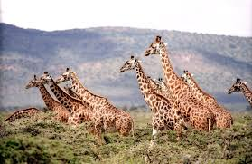 why the birth of a giraffe at the denver zoo isn u0027t something we