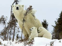 ten good reasons not to worry about polar bears polarbearscience