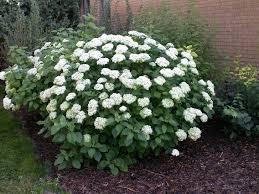 shrubs stuart s landscaping garden center