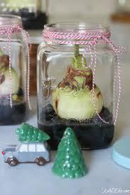 how to grow amaryllis in jars kelly elko