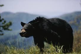 Bears Montana Hunting And Fishing - spring black bear hunters reminded of key regulations montana
