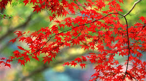 autumn leaves hd images pictures free download