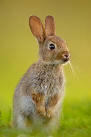 25 best wild rabbit ideas on pinterest wild baby rabbits bunny