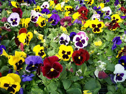 cool season flowers for your fall garden snaplant com