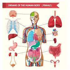Human Anatomy Images Free Download Stomach Vectors Photos And Psd Files Free Download