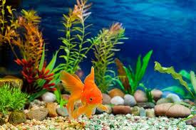 fancy fish pet age