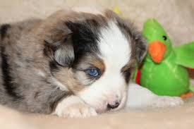 australian shepherd x puppies for sale blue horizon toy australian shepherds