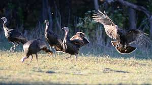 how many turkeys will be eaten on thanksgiving wild turkeys are tough old birds here u0027s why you should hunt and