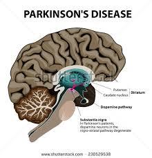 Neck Cross Sectional Anatomy Human Brain Cross Section Healthy Brain Stock Vector 573785056