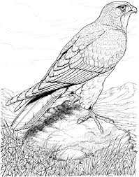real life looking coloring pages of detailed hawk bird coloring
