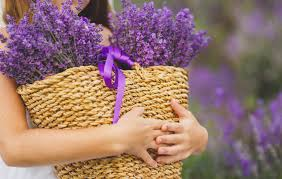 lavender flowers continuously blooming lavenders