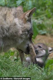 wildlife park celebrates wolf cub birth in 47 years