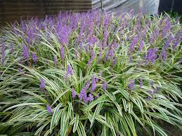 monkey grass seed liriope muscari ornamental grass seeds