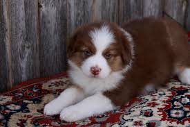 australian shepherd male names 20 australian shepherd puppies that are so adorable you might just
